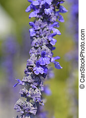 Mealy Cup Sage - Latin name - Salvia farinacea