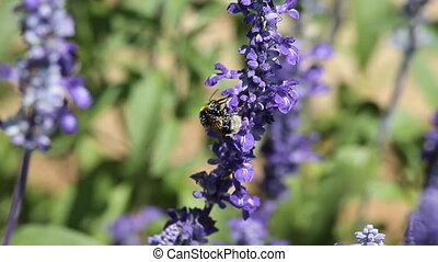 Mealy Cup Sage (Salvia Farinacea) a herbaceous perennial...