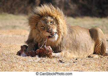Meaty flossing - Male lion using meal as floss