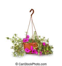 mech podniósł się, portulaca, grandiflora
