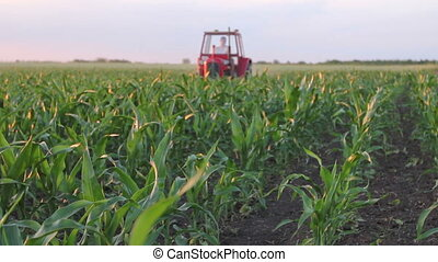 Mechanized processing grass between rows in cornfield -...