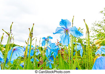 Meconopsis, Lingholm, blue poppies in the garden