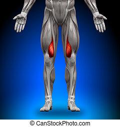 medialis, vastus, mięśnie, -, anatomia