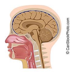 median, gedeelte, van, menselijk hoofd, eps8