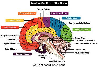 Median Section of Human Brain Anatomical structure diagram infographic chart with all parts cerebellum thalamus, hypothalamus lobes, central sulcus medulla oblongata pons pineal gland figure for medical science education labeled