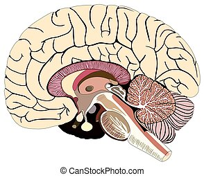 Median Section of Human Brain Median Section of Human Brain Anatomical structure diagram unlabeled chart with all parts cerebellum thalamus, hypothalamus lobes, central sulcus medulla oblongata pons pineal gland figure for medical science education