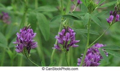 Medicago sativa, alfalfa, lucerne in bloom - close up