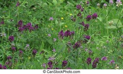 Medicago sativa, alfalfa, lucerne in bloom. Alfalfa is the...