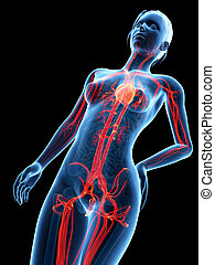 medical 3d illustration - female anatomy - cardiovascular system