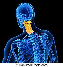 the cervical spine - medical 3d illustration of the cervical...