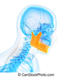 the jaw bone - medical 3d illustration of the jaw bone