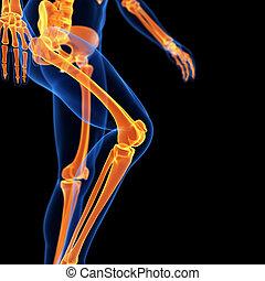 the leg bones - medical 3d illustration of the leg bones