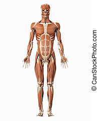 the male muscular system - medical 3d illustration of the ...