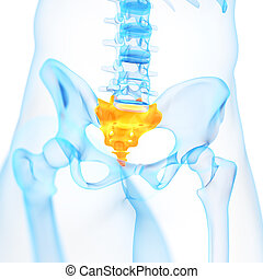 the sacrum - medical 3d illustration of the sacrum
