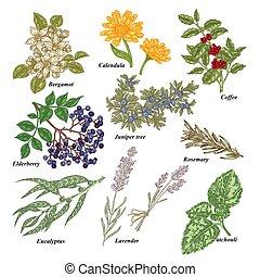 Medical and cosmetics plants. Hand drawn Bergamot, Calendula...