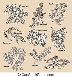 Medical and cosmetics plants. Hand drawn Jojoba, Argan, Tea ...