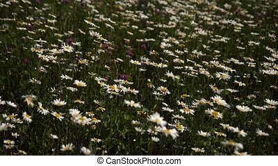 Medical daisies panning - camomile flowers in the breeze.