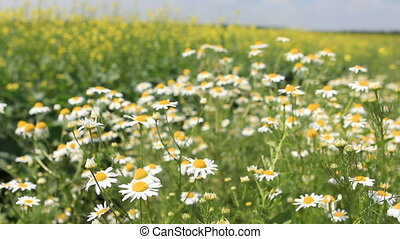 Medical daisies panning camomile