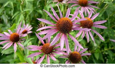 medical (Echinacea purpurea) herb - medical (Echinacea...