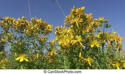 medical herb tutsan flowers - medical herb tutsan - St...