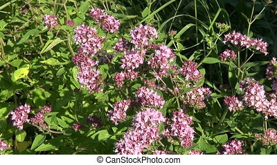 medical herb wild marjoram - medical and spices herb wild...