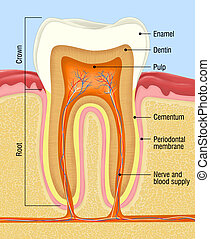 tooth - medical illustration for the tooth cross-section