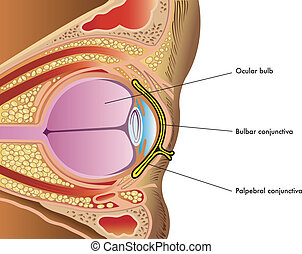 medical illustration of anatomy of the conjunctiva
