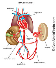 fetal circulation - medical illustration of anatomy of the...