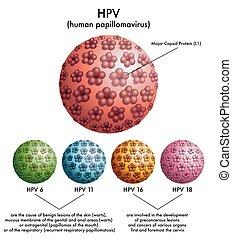 HPV (human papillomavirus) - medical illustration of ...