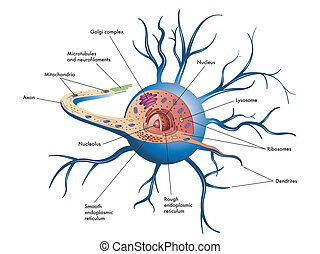 nerve cell - medical illustration of structure of nerve cell