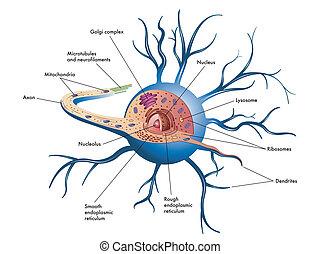 medical illustration of structure of nerve cell