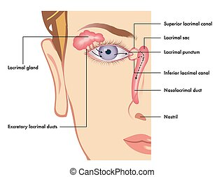 lacrimal apparatus - medical illustration of the anatomy of...