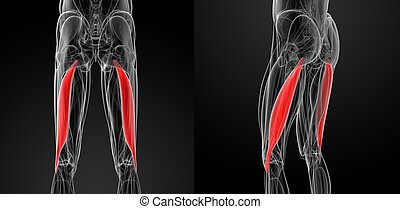 medical  illustration of the biceps femoris