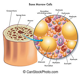 bone marrow cells - medical illustration of the composition...