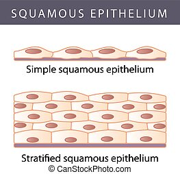 Medical illustration of the Different Epithelium Structure Types