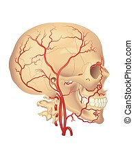 carotid artery - medical illustration of the distribution of...