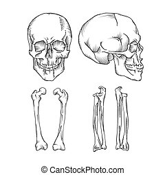 Medical illustration of the human skull and bones