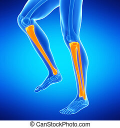 the lower leg bones