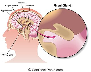 pineal gland - medical illustration of the pineal gland and...