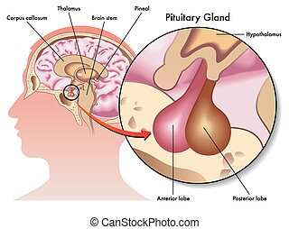 pituitary gland - medical illustration of the pituitary ...