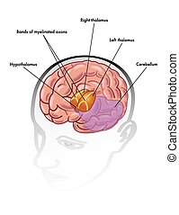 thalamus and hypothalamus - medical illustration of the...