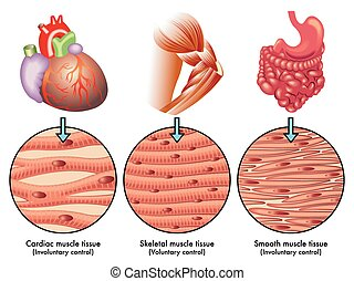 muscle tissue - medical illustration of the various types of...