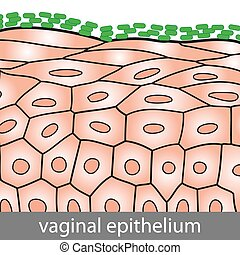 Medical illustration of Vaginal Epithelium Structure with Lactobacilli on the Surface