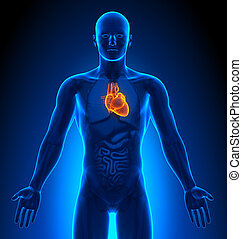 Medical Imaging - Male Organs - Heart