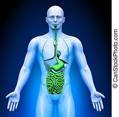 Medical Imaging - Male Organs - Guts