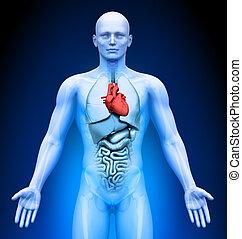 Medical Imaging - Male Organs - Heart