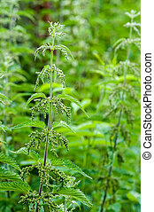 medical nettle