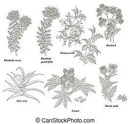 Medical plants and herbs set. Rhodoila rosea, Rhodiola quadrifida, burdock, honeysuckle, thistle, castor and aloe vera hand drawn. Vector illustration botanical. Engraved style.