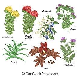 Medical plants and herbs set. Rhodoila rosea, Rhodiola quadrifida, burdock, honeysuckle, thistle, castor and aloe vera hand drawn. Vector illustration botanical. Colorful engraved style.