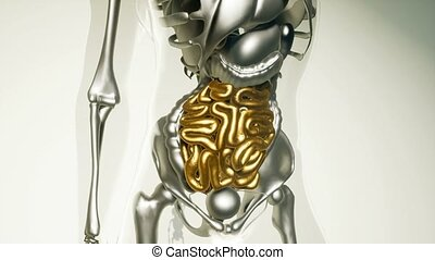 human intestine model with all organs and bones